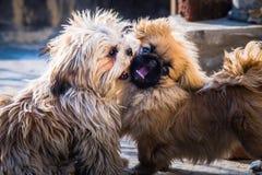 Pekingese and shih tzu. Juvenile Pekingese also lion dog mingle with Shih tzu royalty free stock photos