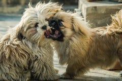 Pekingese and shih tzu. Juvenile Pekingese also lion dog mingle with Shih tzu stock photo