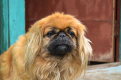 Pekingese. Sitting in the street and looking stock photo