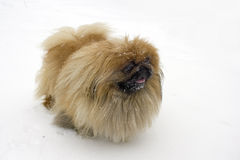 Pekingese on snow Stock Photos