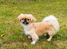 Pekingese stands. Royalty Free Stock Photos