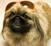 Pekingese in sunglasses. Stock Images