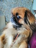 Pekingese with a surprised face royalty free stock photo