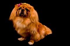 pekingese svart hund för bakgrund Royaltyfria Foton