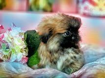 pekingese valp Royaltyfria Bilder
