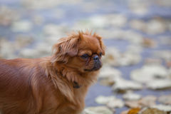 Pekingese on a walk Stock Photos