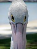 Pelícano Fotos de archivo