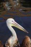Pelícano. Fotos de archivo