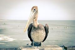 Pelícano Imagenes de archivo