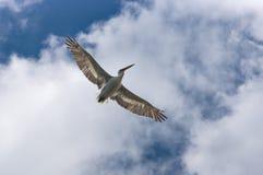 Pelícano Imagen de archivo
