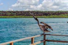 Pelícano Fotografía de archivo libre de regalías