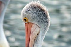 Pelícano australiano Imagenes de archivo