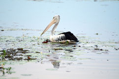Pelícano australiano foto de archivo
