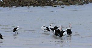 Pel?cano australiano, conspicillatus del Pelecanus, grupo en el agua 4K almacen de metraje de vídeo