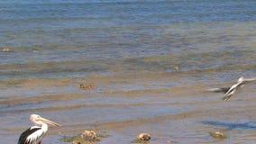 Pelícano australiano en la isla del canguro, Australia almacen de metraje de vídeo
