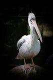 Pelícano blanco Imagen de archivo