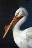 Pelícano blanco Fotos de archivo