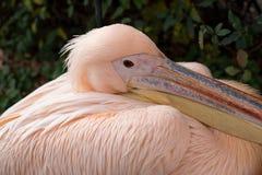 Pelícano blanco Fotos de archivo libres de regalías