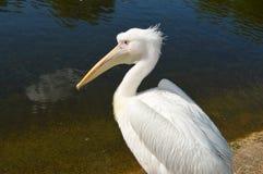 pelícano blanco cerca del lago Fotografía de archivo libre de regalías