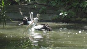 Pelícano blanco de Reat y la familia del pelícano en el parque zoológico metrajes