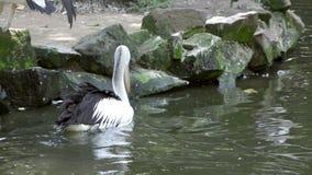 Pelícano blanco de Reat y la familia del pelícano en el parque zoológico almacen de metraje de vídeo