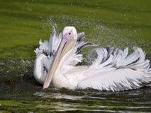 Pelícano blanco en el agua Imagenes de archivo