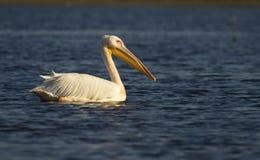 Pelícano blanco en el lago Fotografía de archivo libre de regalías