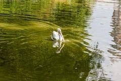 Pelícano blanco en el lago Foto de archivo libre de regalías