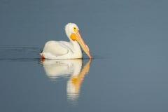 Pelícano blanco en un agua Imagen de archivo libre de regalías