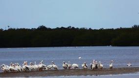 Pelícano blanco, erythrorhynchos del Pelecanus, en los marismas almacen de metraje de vídeo