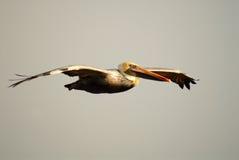 Pelícano con la pista amarilla en vuelo en la playa California de Pismo fotografía de archivo libre de regalías