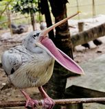 Pelícano con un bostezo grande Fotos de archivo libres de regalías