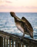 Pelícano de Brown Foto de archivo libre de regalías