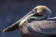 Pelícano de Brown Fotografía de archivo