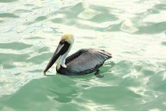 Pelícano de Brown en el agua 3 Imagenes de archivo