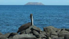 Pelícano de Brown en la orilla del seymour del norte las Islas Galápagos metrajes