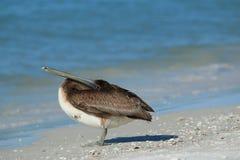 Pelícano de Brown en la playa de Lido Foto de archivo libre de regalías