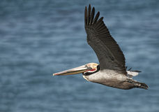 Pelícano California de Brown del vuelo Fotos de archivo libres de regalías