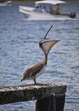 Pelícano de Brown, occidentalis del pelecanus Foto de archivo libre de regalías
