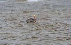 Pelícano de Brown que flota en una costa del océano Fotografía de archivo