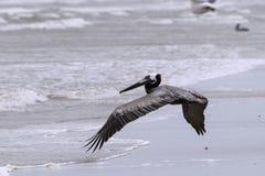 Pelícano de Brown que vuela bajo sobre ondas en una playa Imagen de archivo