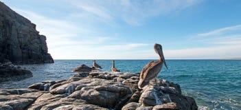 Pelícano de California Brown que se encarama en afloramiento rocoso en la playa de Cerritos en Punta Lobos en Baja California Méx imagenes de archivo