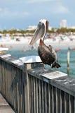 Pelícano de la Florida de la playa de Clearwater Foto de archivo libre de regalías