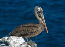 Pelícano de las Islas Gal3apagos Brown Imágenes de archivo libres de regalías