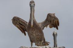 Pelícano del marrón de California que separa sus alas Fotografía de archivo