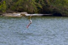 Pelícano del salto Foto de archivo