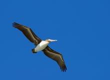 Pelícano del vuelo Fotos de archivo
