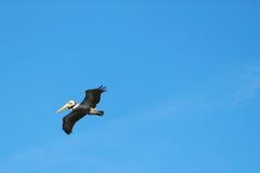 Pelícano del vuelo Imagen de archivo