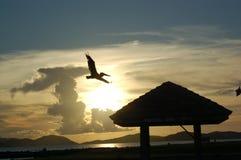 Pelícano del vuelo en la puesta del sol Fotos de archivo libres de regalías