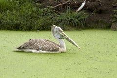 Pelícano en agua Foto de archivo